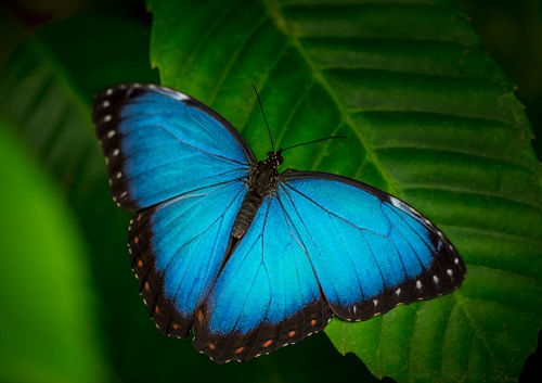 GGSD2020 Blue Butterfly